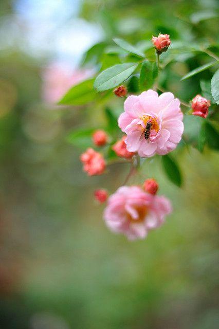 Rose 'Cornelia' by myu-myu
