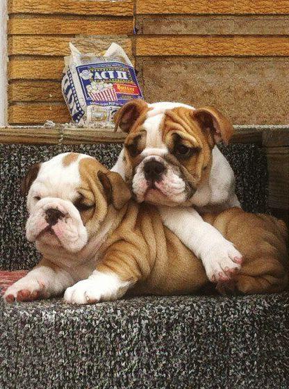 bulldog love..