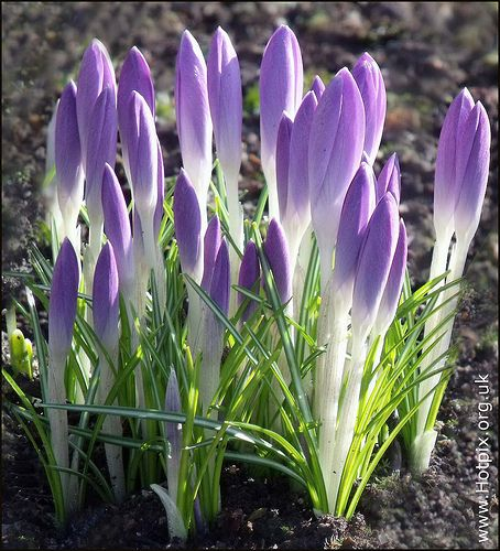 Purple Spring Crocus
