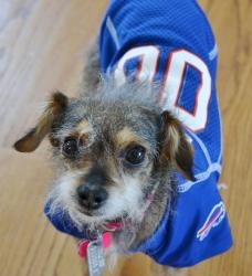 Mabel is an #adoptable Terrier Dog in #Durham, #NCAROLINA. Hi there!  My name is Mabel & Chihuahua Rescue & Transport is courtesy posting me for my current mom.  My mom describes me as a sweet, loving lapdog...