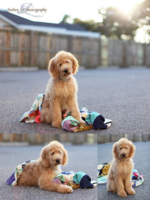 cutest dog ever. #goldendoodle #dogs #cute