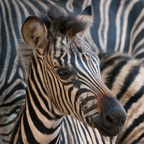 Zebra foal-love the fuzzy swirl on the head!