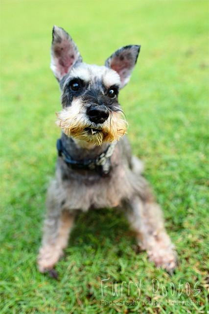 Husky by Furry Photos #Miniature #Schnauzer