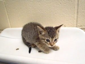Apple Valley Animal Services, Apple Valley, CA (760) 240-7000 x 7555 120026 is an adoptable Domestic Short Hair Cat in Apple Valley, CA.  ...
