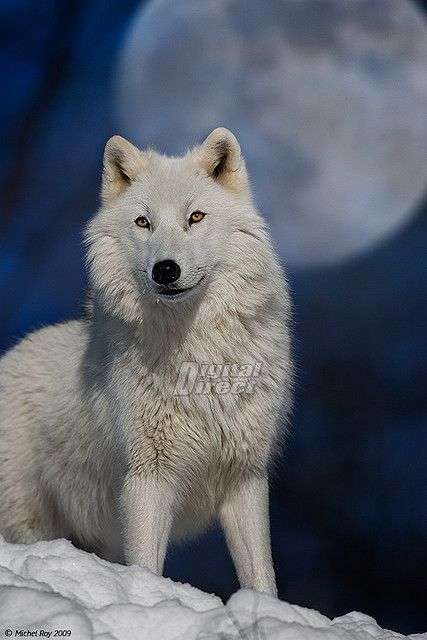 White Wolf in moon light