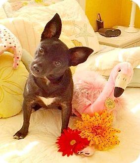 Adopt a Pet :: EPPIE - Lithia, FL - Chihuahua Mix