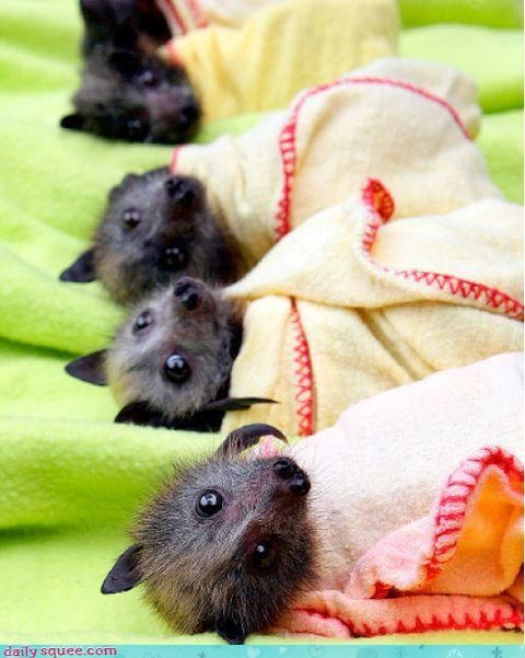 """Baby bats at the Bat Clinic in Advancetown, which has helped at least 130 baby bats after the wet weather. The winged mammals are bottle fed, wrapped up and hung on clotheslines until they are well enough to be released."" photo by Luke Marsden.  WHAAAAAAT?!  These are weirdly adorable!!! #evil #Bad #NSFW"