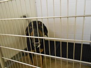 #OHIO #URGENT ~ ID 13-496 is an #adoptable Black & Tan Coonhound Dog with the HURON COUNTY DOG WARDEN  130 Shady Lane Building E   #Norwalk OH 44857  mailto:hcdw@cros.net  Ph 419-668-9773