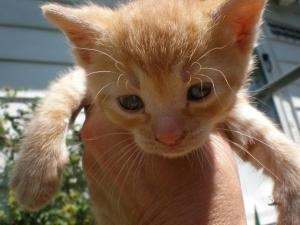 -KITTENS!! is an adoptable Domestic Short Hair Cat in Spring Lake, NJ. These six week old kitties are available!! This is a courtesy post so please do not contact Rescue Ridge -- In order to see/adopt...