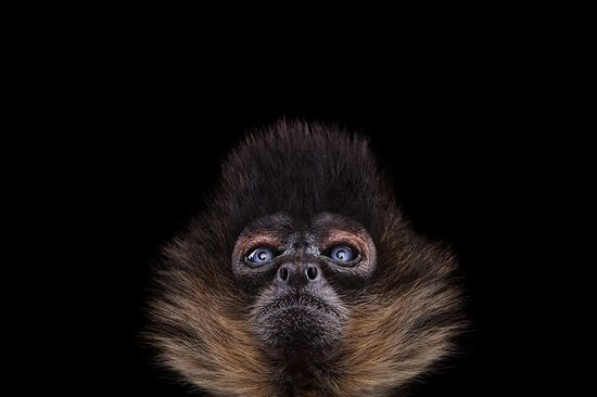 Incredible Studio Portraits of Wild Animals by Brad Wilson - Monkey