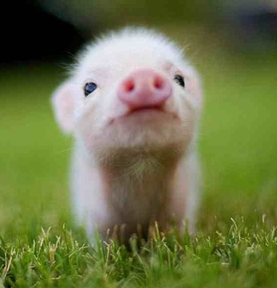 It's a baby pig!!!!!!!!!!!:):):):)