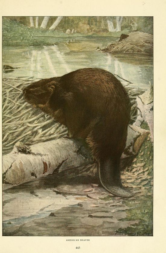 Beaver. Wild animals of North America  Washington, D.C.,The National geographical society[c1918]  Biodiversitylibrary. Biodivlibrary. BHL. Biodiversity Heritage Library