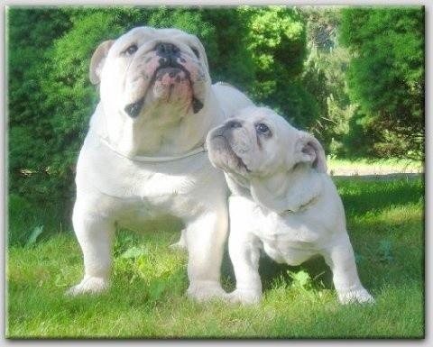 English Bulldogs!