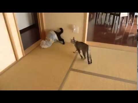 Flying Ninja Kitten Funny Video