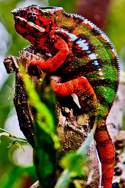 Colorful Lizard from rain forest