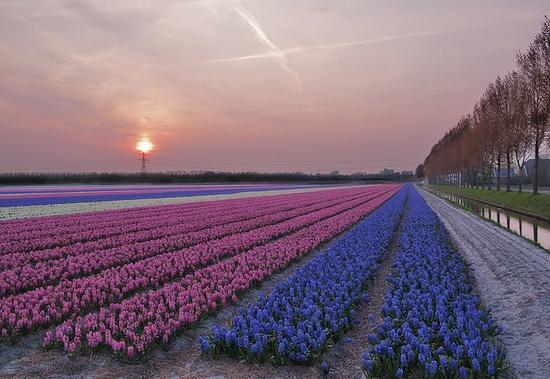 flower fields by dakiphoto!, via Flickr