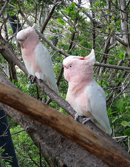 Major Mitchell's cockatoo/ Pink Cockatoo by Silhouette2, via Flickr