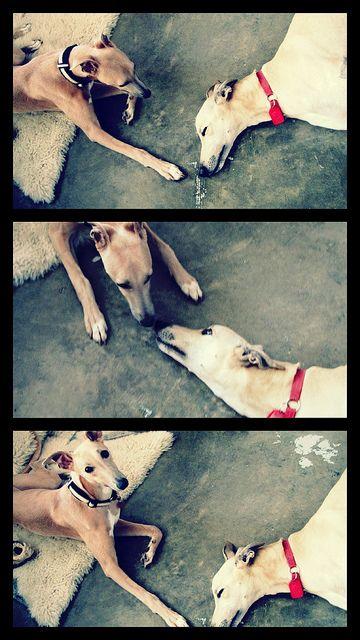 whippet meets greyhound