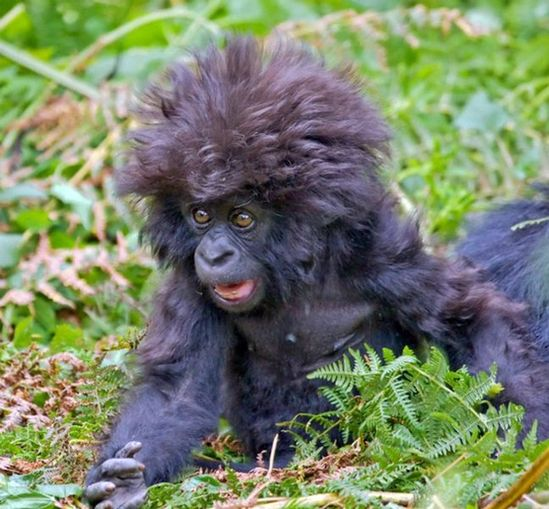 This baby gorilla had no idea his hair's been like this ALL DAY.