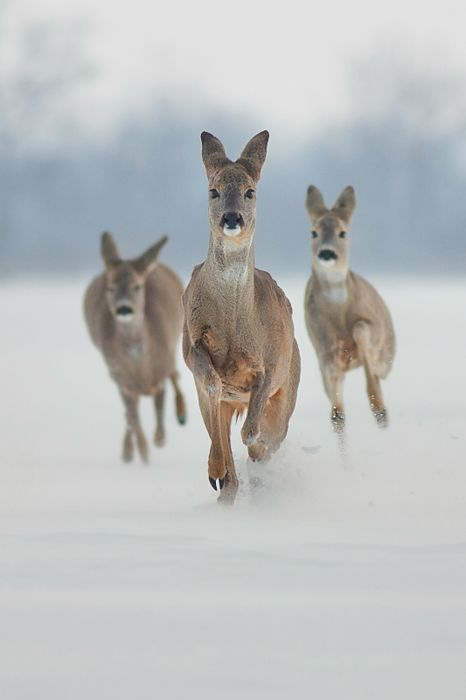 Oh deer, they're coming for me :D #deer #snow #winter #animals #wildlife #nature