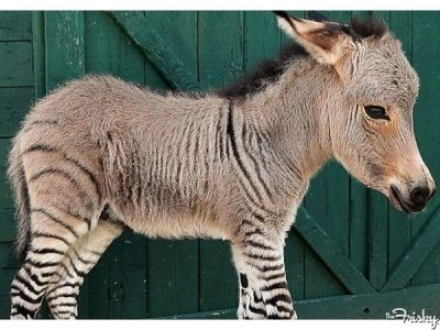 I used to want a #minipig, but now I want this Donkey-Zebra hybrid. Your Daily Squee: A Baby #Zonkey Was Just Born In Italy! #animals #cute #babyanimals frsky.me/15QuWnB