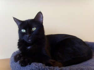 Mamala is an adoptable Domestic Short Hair Cat in Westminster, CO. I am a sweet and curious kitty. I love to sit in your lap and purr for hours. I am a very unique black cat. If you look at the tip of...