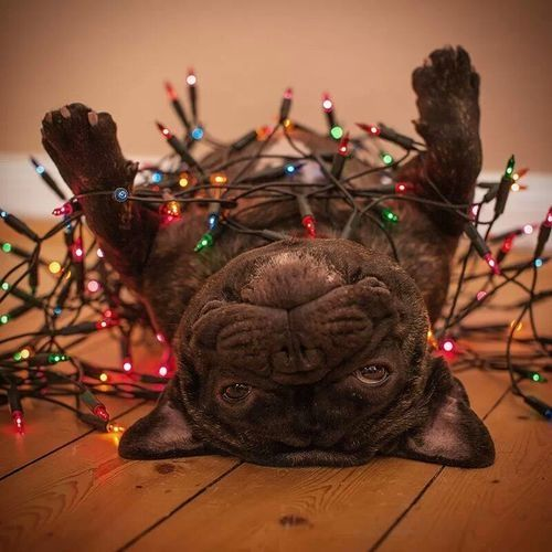 French Bulldog in Christmas Lights cute pets christmas christmas lights christmas decorations christmas dog
