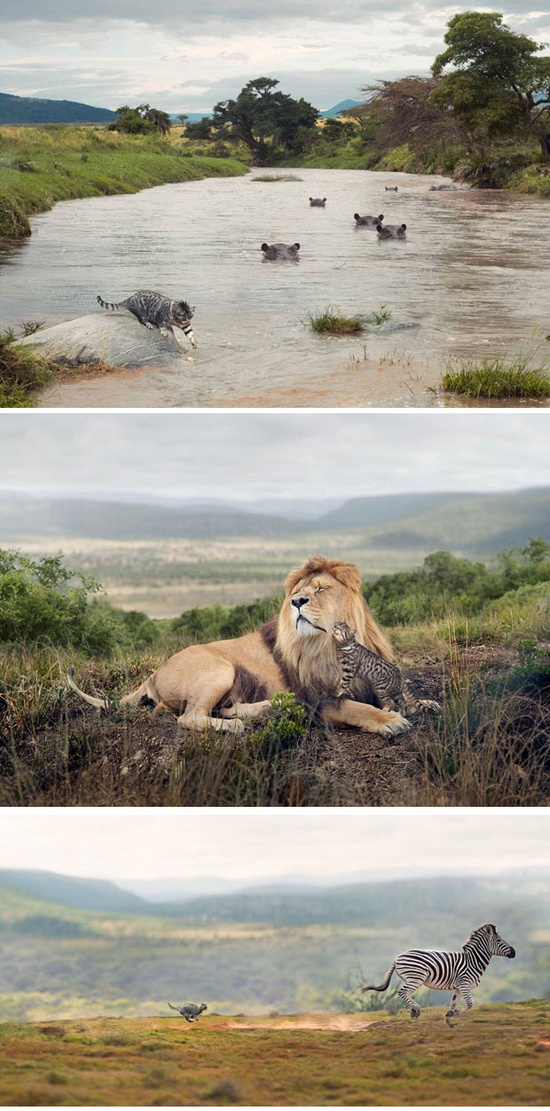 Photoshopped Pictures of Small House Cats Living as Big Cats in the Wild ( www.georgelogan.c... )