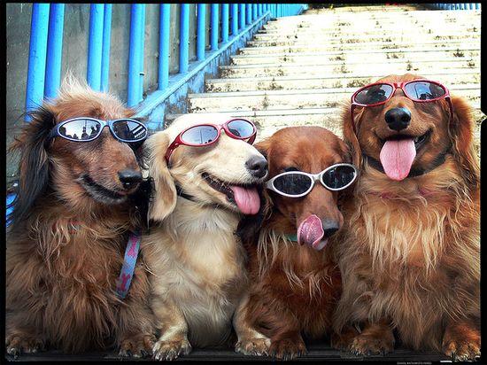 Dogs n Sunglasses