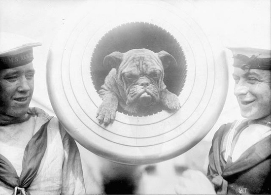 """""""Perlous Jack,"""" the mascot of the HMS New Zealand / Perlous Jack, 1914. #navy #1910s #Edwardian #vintage #pets #bulldog"""