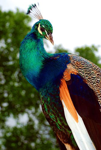 Pretty peacock of many colors - green with blue head and neck, cobalt collar, brown and tan back stripe, then brown and then white with orange uncer collar, green mottled stripe, then brown - isn't nature gorgeous?