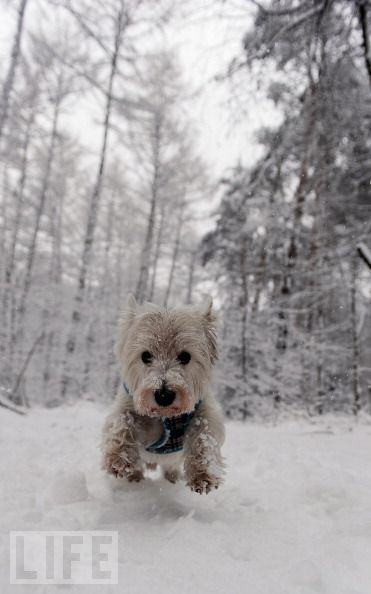 Westie at Play