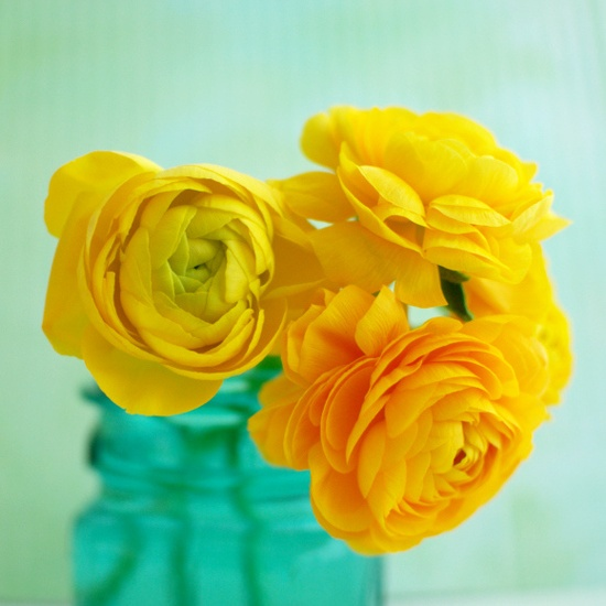 yellow ranunculus ???