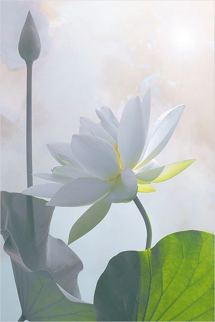 ? Lotus Flower Surreal Series .. by Bahman Farzad?