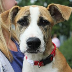 Saffron is an adoptable Anatolian Shepherd Dog in Huntley, IL. Please visit the website and fill out an online application and then come on out. The 'How to Adopt' page has directions, hours and adopt...