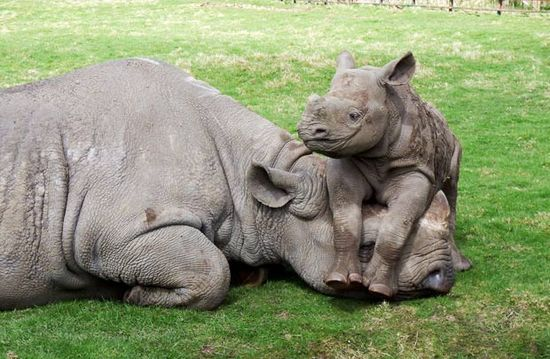 Happy baby rhino just hanging with mom
