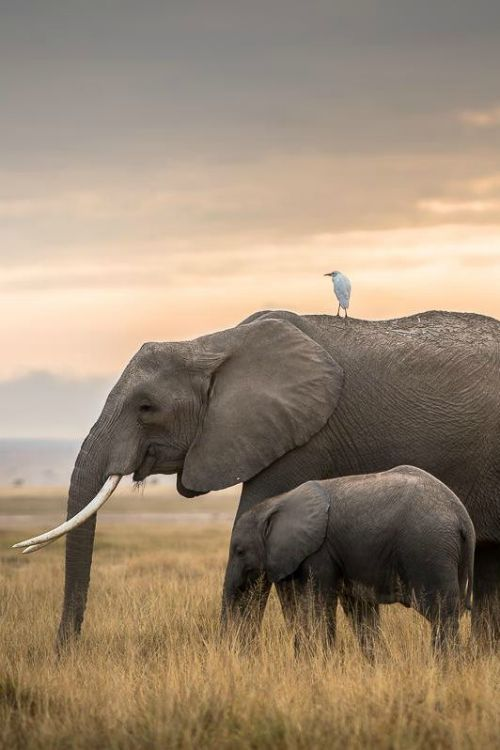 ? Amazing nature wild life photography animals elephants Tranquility - By: (cantay gok)
