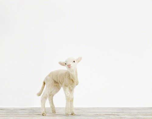 Baby Lamb by Sharon Montrose