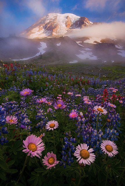 Lupine, Asters, Pasque flowers in full bloom, Mount Rainier, Washington