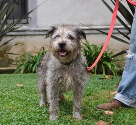 Bella Bean is an adoptable Terrier Dog in Los Angeles, CA. Bella is a one and a half year old Terrier mix, maybe mixed with Schnauzer? But whatever she is, she is precious and absolutely adorable. She...