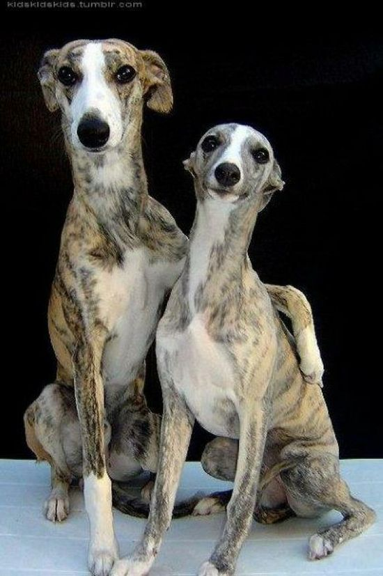 Italian greyhounds they are a suprisingly cuddly breed
