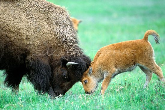 Mother bison playing with baby,