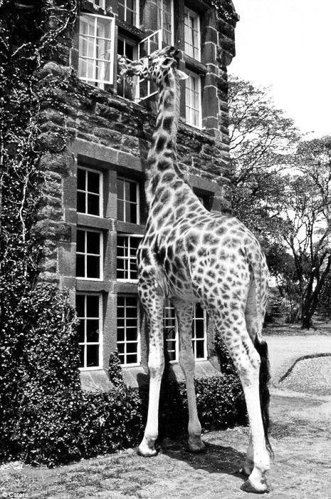 I want a pet giraffe