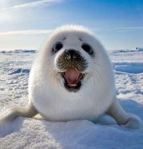 oh hi! baby seal