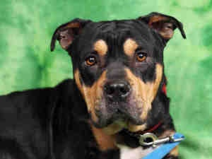 HUDSON is an adoptable Rottweiler Dog in Santa Rosa, CA. hi i am kind of a quiet dog, i would benefit from trainig and daily walks i was friendly when meeting with other dogs. He did not seem interest...