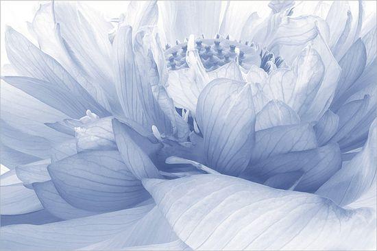 Lotus Flower Macro  Lotus_Petals