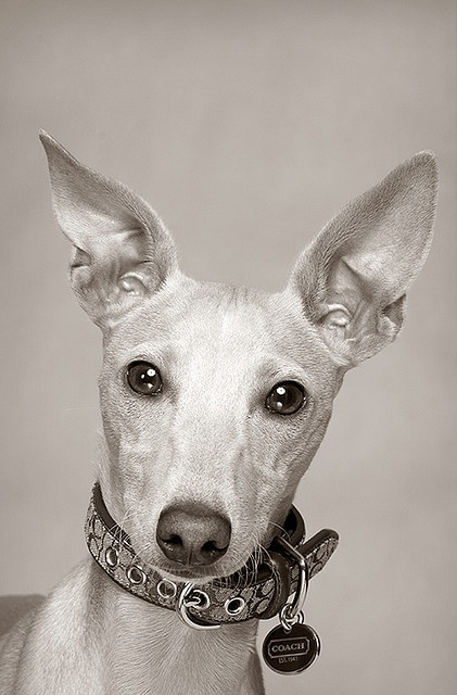 ~Italian Greyhound ~