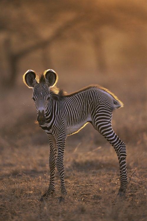 baby zebra - too cute