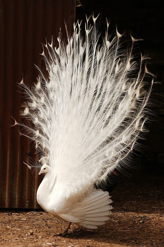 White peacock by David Calvin