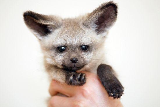 baby bat-eared fox